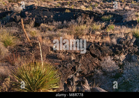 Sotol (desert spoon) growing in pahoehoe lava field, Carrizozo Malpais lava flow at Valley of Fires, Tularosa Basin - Stock Image
