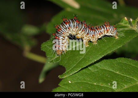 A colorful looping caterpillar. - Stock Image