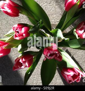 Tulips in Glass Vase - Stock Image