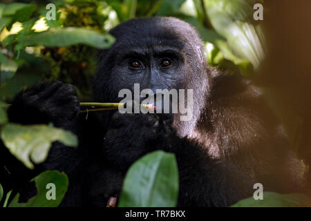 Mountain Gorilla (Gorilla beringei beringei) Feeding, Looking into the Camera. Bwindi Impenetrable National Park, Uganda - Stock Image
