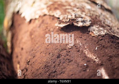 Closeup of damaged bark and wood caused by bark beetle - Scolytinae - Stock Image