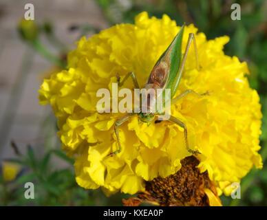 Big green grasshopper sitting on yellow flower blossom close up macro - Stock Image