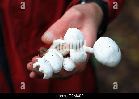 A person holds a clump of white wild mushrooms found in Nesscliffe, Shropshire, England. - Stock Image