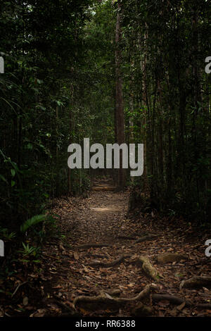 Exposed tree roots along wide well trodden path through a dark dense jungle rainforest. - Stock Image