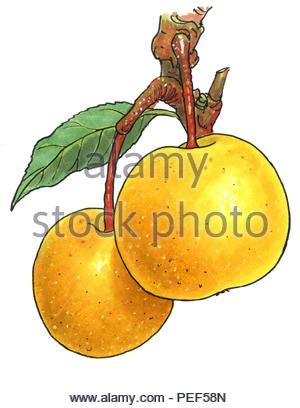 japanese apple pear - Stock Image