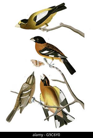 1 Evening Grosbeak, Coccothraustes vespertinus, 2 Black-headed Grosbeak, Pheucticus melanocephalus, birds, 1827 - Stock Image