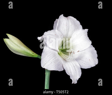 Beautiful Easter Lily - Stock Image
