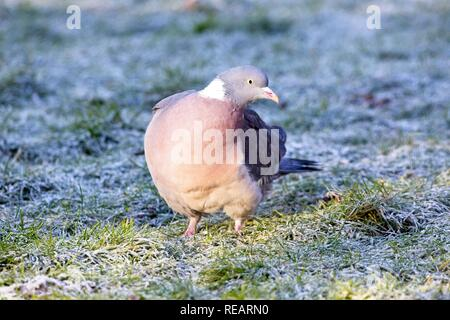 Hailsham, UK. 21st Jan 2019.UK weather. A Wood pigeon looks for food on a frost covered lawn this morning.Birds will struggle to find food in the cold weather predicted this week. Hailsham, East Sussex, UK. Credit: Ed Brown/Alamy Live News - Stock Image