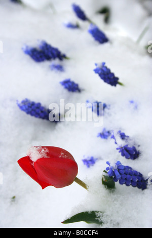 Blue Grape Hyacinths and Tulip blanketed by snow. - Stock Image