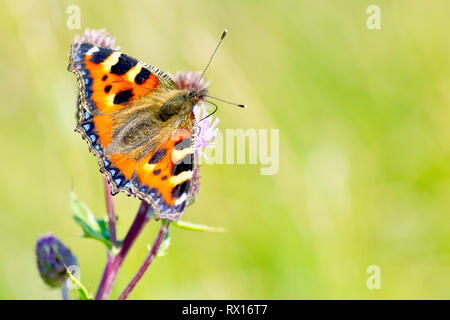 Small Tortoiseshell butterfly (aglais urticae) feeding on Creeping Thistle (cirsium arvense). - Stock Image