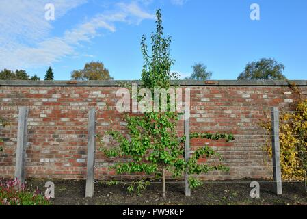 A young apple tree espalier trained in a walled garden - Stock Image