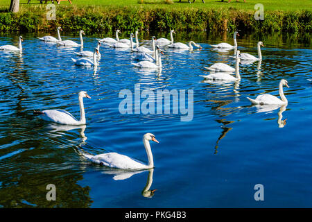 Mute swans on the River Thames at Lechlade-on-Thames, a small town on the edge of the Cotswolds. Lechlade, Gloucestershire, UK. - Stock Image