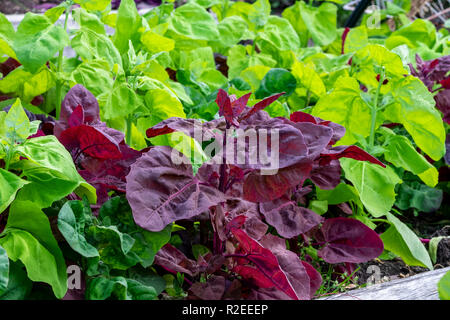 Green and red orach, atripex hortensis, a variety of saltbush related to spinach provide a contrasting colour splash in the vegetable garden. - Stock Image