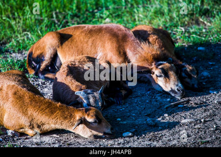 Group of females of a cameroon sheep (Ovis Aries) lying on the ground. - Stock Image