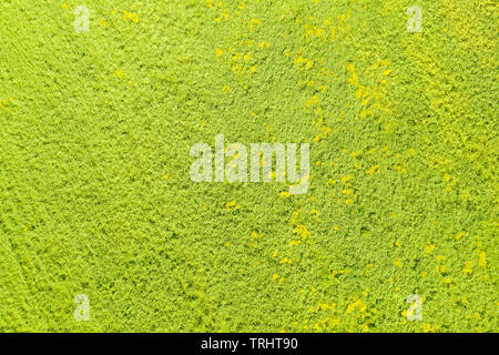 Green field with yellow flowers top aerial view. Background and texture - Stock Image