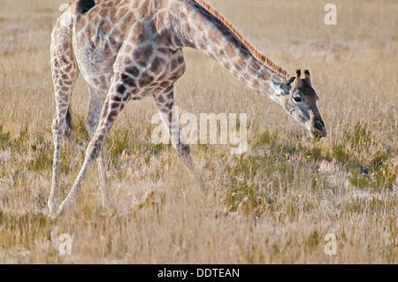 Pregnant Giraffe, Giraffa camelopardalis, leaning down to eat in Etosha National Park, Namibia, Africa - Stock Image