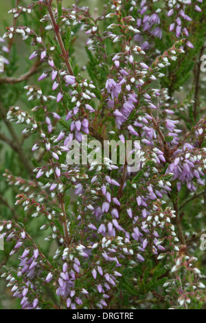 Common heather (Calluna vulgaris) flowering on Snailbeach Lead Mine Shrewsbury Shropshire England - Stock Image