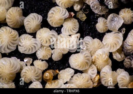Foraminifera, Elphidium crispum, Sargassum muticum, Dorset, UK - Stock Image