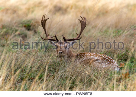 A fallow deer buck lying in long grass in the autumn sun. - Stock Image