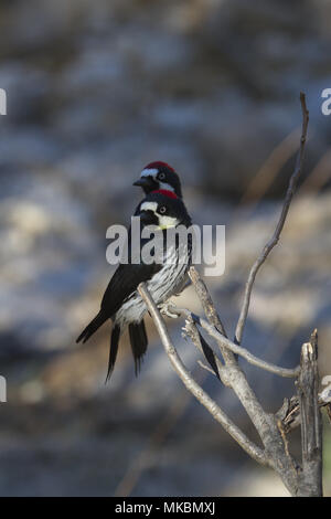 Two acorn woodpeckers with both heads turned in alert curiosity.  Location is on Mt. Lemmon Scenic Byway in Catalina Mountains of Tucson, Arizona. - Stock Image