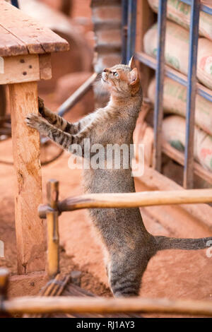 Yako town, Burkina Faso: a stray cat looking for opportunities for food   on a table outside a local shop. - Stock Image