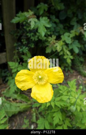 Welsh poppy - Stock Image