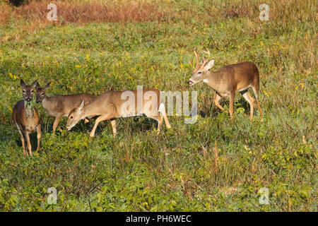 A whitetail buck trailing a doe and fawns. - Stock Image