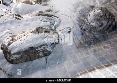 Turtles swim in a shallow pool in the grounds of a hotel in Santa Cruz de Tenerife. - Stock Image