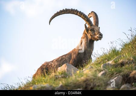 alpine ibex (lat. Capra ibex) on Brienzer Rothorn, Switzerland - Stock Image