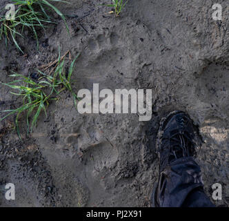 Walking Into Thick Muddy Path with Bear Foot Print - Stock Image