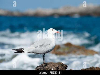 Audouin's Gull, (Ichthyaetus audouinii), Ibiza Island, Balearic Islands, Mediterranean Sea, Spain, Europe - Stock Image