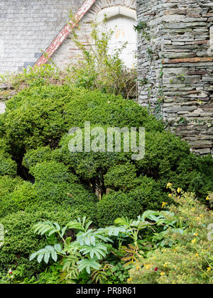 Mounded green evergreen foliage of the densely mounded Japanese cedar, Cryptomeria japonica 'Vilmoriniana' - Stock Image