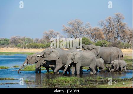 African elephants (Loxodonta africana) drinking in the River Khwai, Botswana, Africa - Stock Image