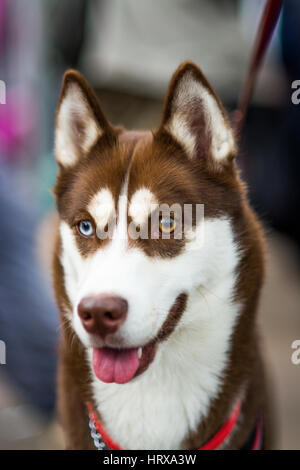 a beautiful husky dog with Heterocromia (eyes different colours) one brown, one blue - Stock Image