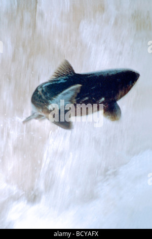 Salmon in mid-air leaping up waterfall - Stock Image