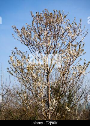 Mature wild cherry tree, Prunus avium, in early spring bloom - Stock Image