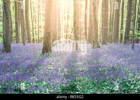 Hallerbos enchanted blue bells forest in Belgium - Stock Image