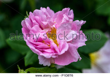 A very old semi-double Damask rose cultivardating back to 1750, var.  'Celsiana' - Stock Image
