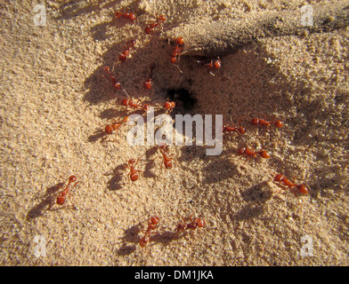 Red or Fire Ants entering and leaving the colony mound. There were along the shores of the Colorado River in the Grand Canyon. - Stock Image