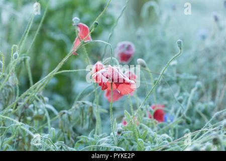 Killearn, Stirlingshire, Scotland, UK. 29th Oct, 2018. uk weather - frozen poppies and a misty and frosty start to the day in Stirlingshire Credit: Kay Roxby/Alamy Live News - Stock Image