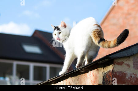 A large white house cat walks along a roof in Shrewsbury, Shropshire, England. - Stock Image
