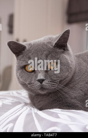 British Blue Shorthair Cat, Portrait single male adult, Sitting at home, England, UK - Stock Image