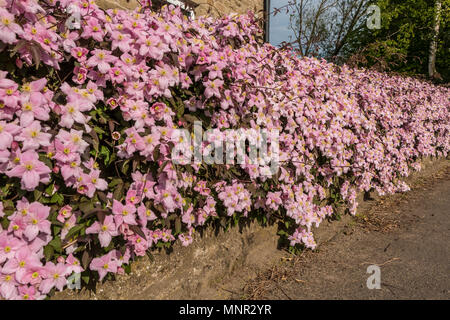 A wall covered in flowering Clematis Montana variety Elizabeth - Stock Image