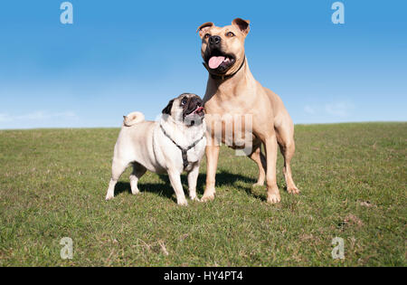 two happy healthy dogs, pug and pitt bull, playing and having fun outside in park on sunny day in spring - Stock Image