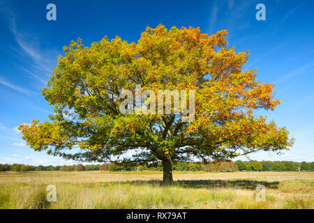 botany, oak, Richmond park, England, Additional-Rights-Clearance-Info-Not-Available - Stock Image
