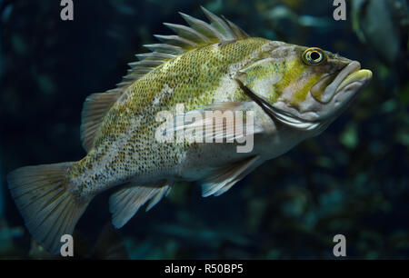 Spiny Copper Rockfish seaperch fish with yellow mottling in kelp forest of the North American Pacific ocean coast - Stock Image