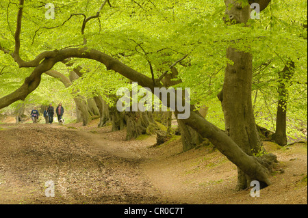 People walking in beech woodland in spring. Ashridge Forest, Hertfordshire, England. May. - Stock Image