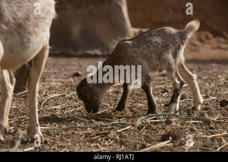 Kourono village, Yako province, Burkina Faso; A young goat kid recently born on Moussa Mande's farm. He is a Tree Aid goat project beneficiary. - Stock Image