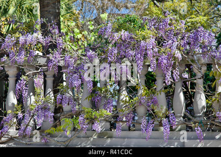 USA, South Carolina, Charleston, Lilacs Abloom - Stock Image