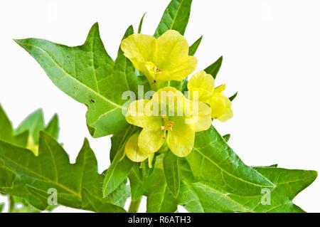 A Blooming Yellow Henbane - Stock Image